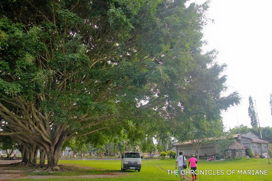 tboli tree