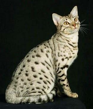 Macam Macam Ras Jenis Kucing Indonesia Info Terbaru