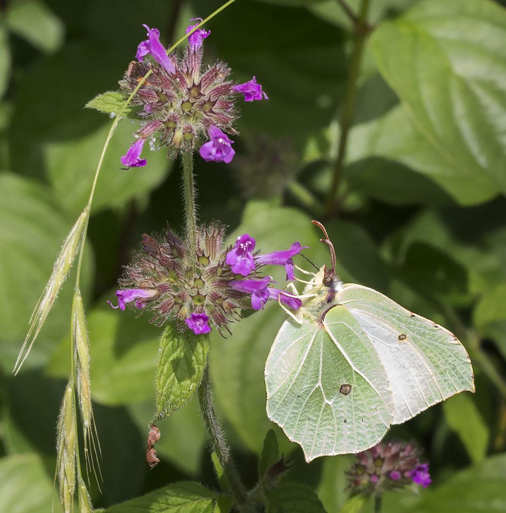 Brimstone, Gonepteryx rhamni.  Female.  Pieridae.   High Elms Country Park, 4 August 2014.