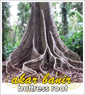 akar banir buttress roots