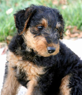 Airedale Terrier Puppy Picture