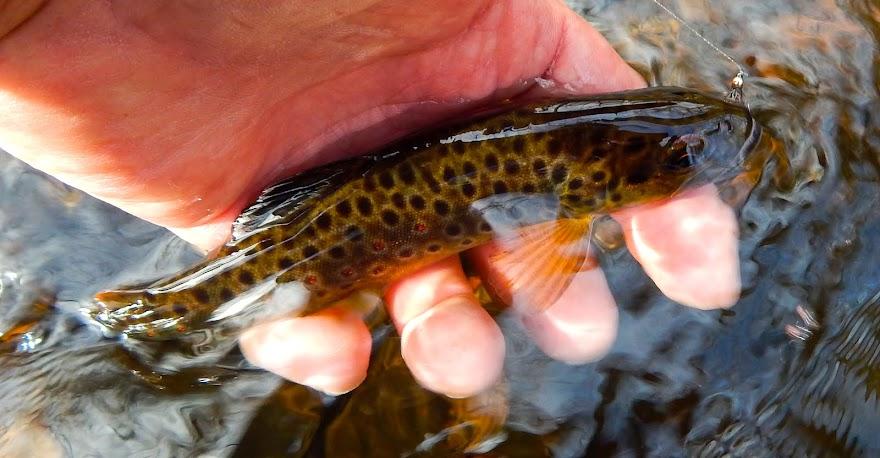 Connecticut Small Stream Wild Brown