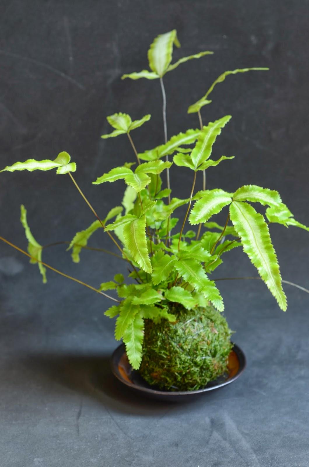 Kokedama et petit bonsai pteris cretica kokedama for Plante kokedama