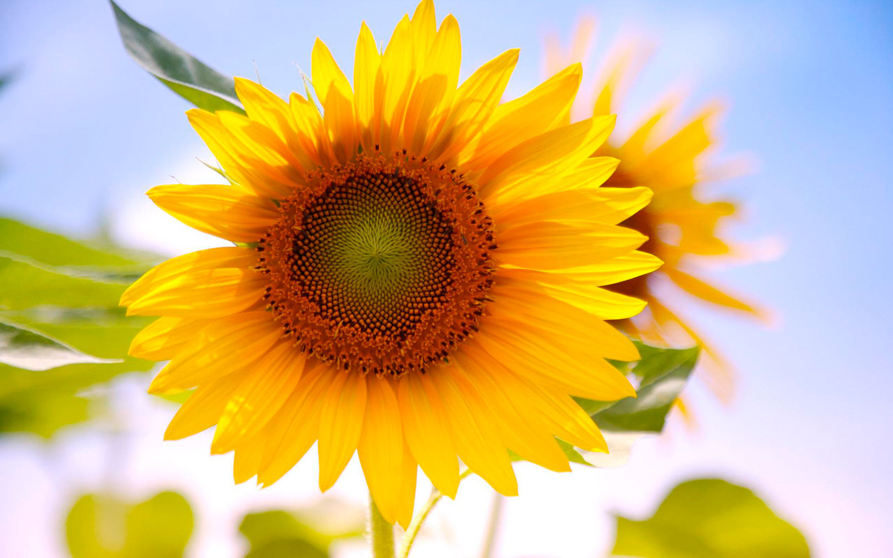 Wallpapers Sunflowers Desktop