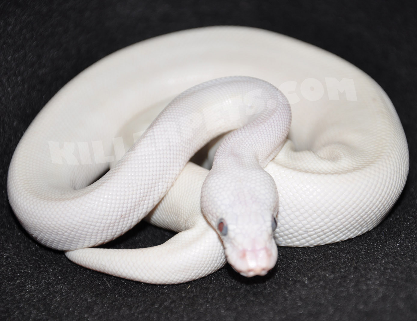 White python snake - photo#2