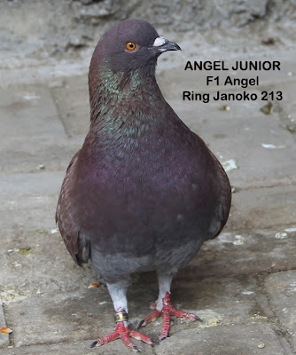 janoko is came back memilih burung merpati balap jangan nanggung