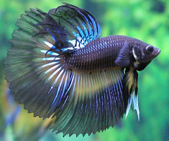 betta cute fish pic