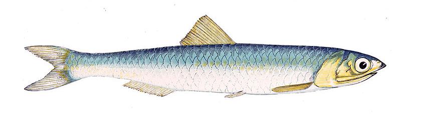 hamsi balığı ile ilgili görsel sonucu