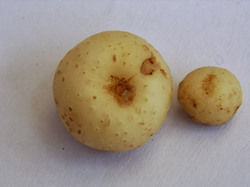 Potatoes formed after 6 weeks of planting seed potatoes