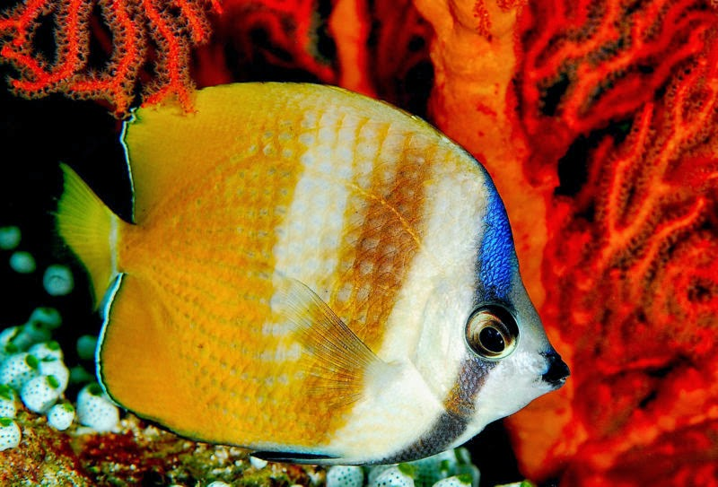 Interesting Facts About Butterfly Fish