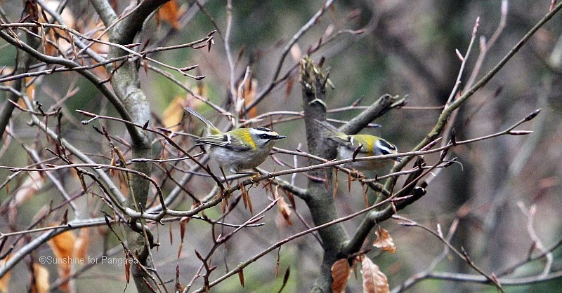 Common Firecrests in a tree