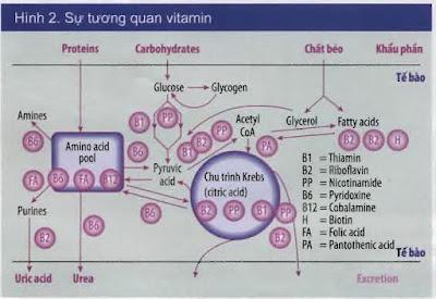 Sự tương quan giữa các loại vitamin.