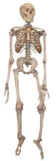 Tulang Menurut Bentuknya