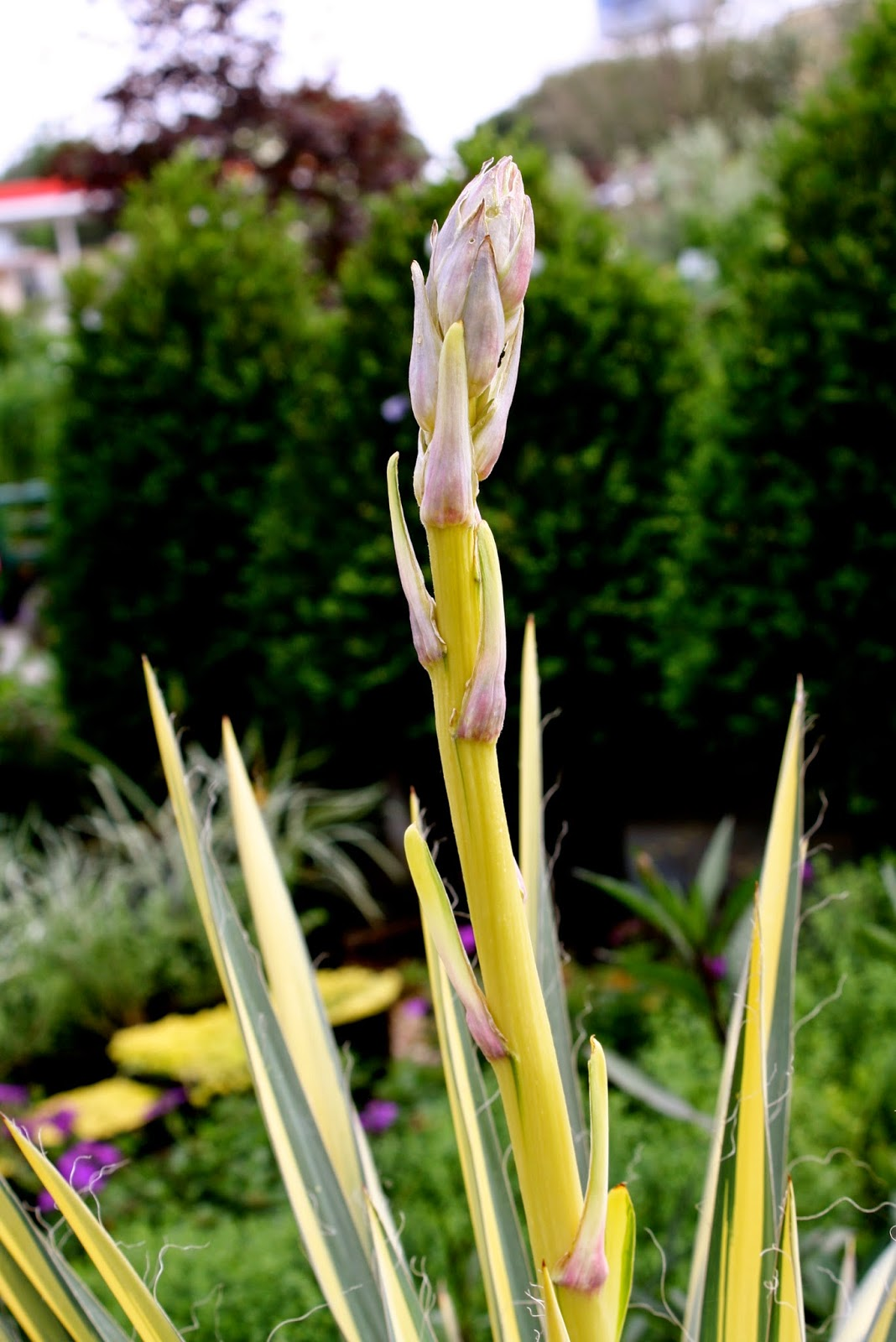 Color Guard Yucca bloom