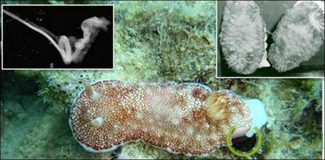 Siput Laut (Penis Jarum)