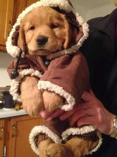Adorable golden retriever puppy dressed in winter clothes