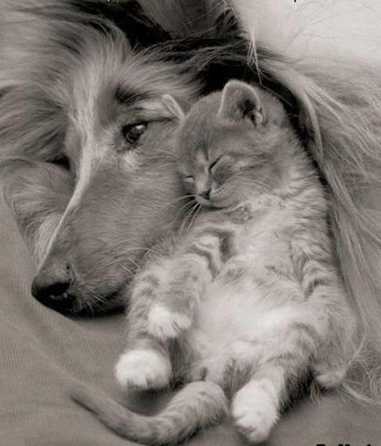 collie and kitten