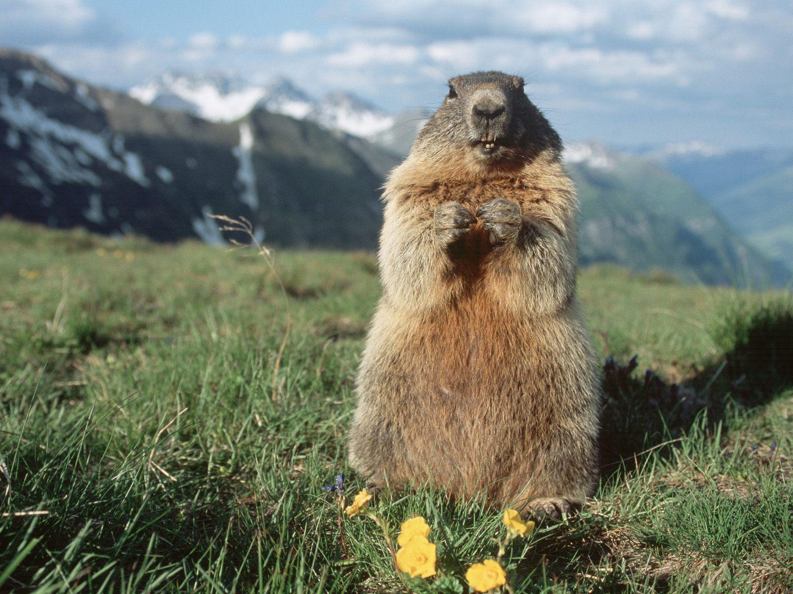 http://2.bp.blogspot.com/-pb07ZyTwOIM/TonI0vAbnoI/AAAAAAAAAYY/EuiZKsVXaUg/s1600/Alpine+Marmot%252C+Hohe+Tauern+National+Park%252C+Austria.jpg