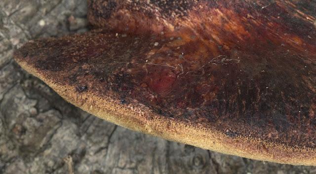 Beefsteak fungus, Fistulina hepatica, on a chestnut tree.  Farningham Wood,  2 October 2011.