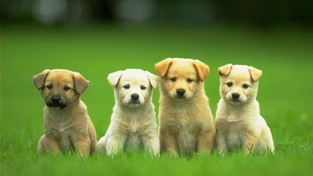 Cute Little Dog Puppies In The Grass