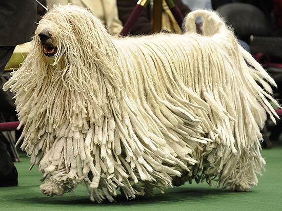Komondor - O grandalhão cão exótico