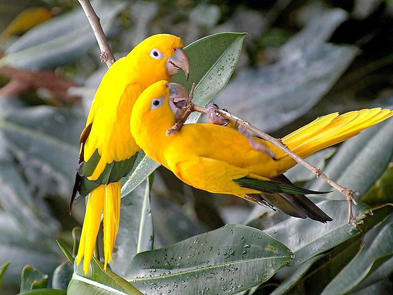 ararajuba pássaros