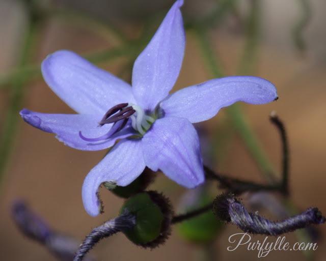 Agrostocrinum scabrum a.k.a Blue Grass Lily