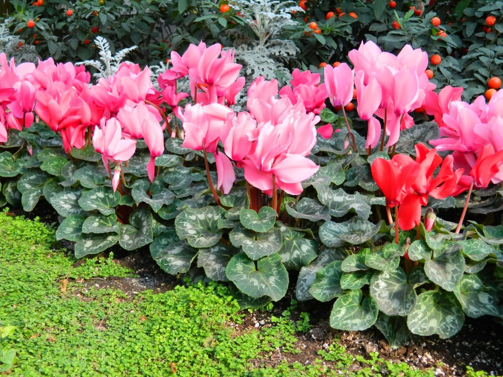 Allan Gardens Conservatory 2014 Spring Flower Show cyclamens by garden muses-not another Toronto gardening blog
