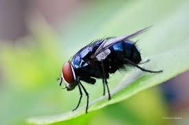 serangga pembawa penyakit