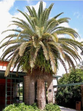 Palmier dattier des canaries flore de l le de la r union for Entretien jardin reunion
