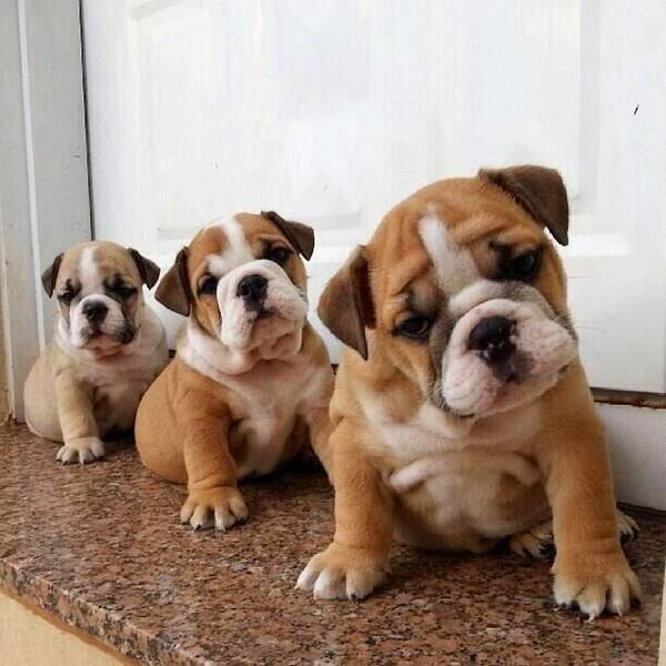 Bulldog puppies -- For Puppy Fridays from Underdog Rescue of Arizona