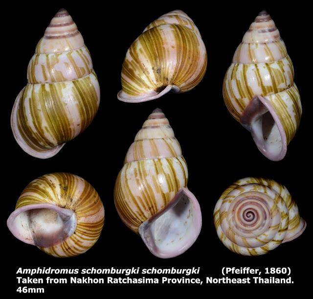 Amphidromus schomburgki schomburgki 46mm