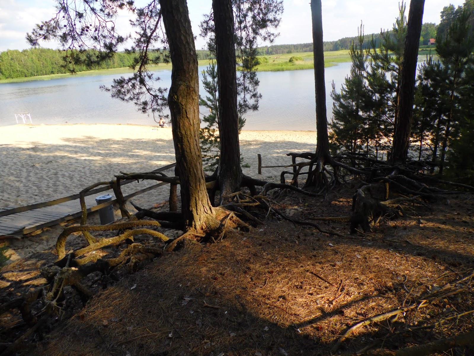 Nagie korzenie na tle plaży i lustra wody Stawów Echo w Zwierzyńcu na Roztoczu Środkowym