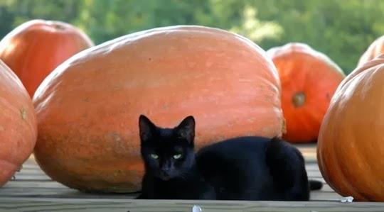 Halloween+pumpkins+black+cat