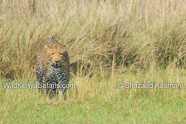 Leopard Masai Mara, Diani Safaris, Wildlife Kenya Safaris, Dream Kenya Safaris