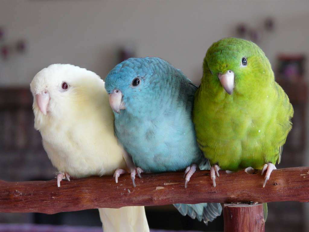 parakeet colors - photo #25