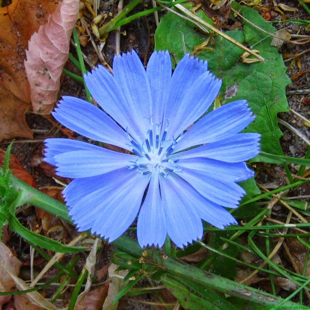 CYKORIA PODRÓŻNIK Cichorium intybus kwiat