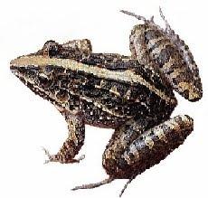 Rã-Assobiadeira (Leptodactylus fuscus)