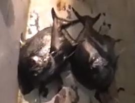 Gila Mancing Triple Strike Ikan Mata Bongsang