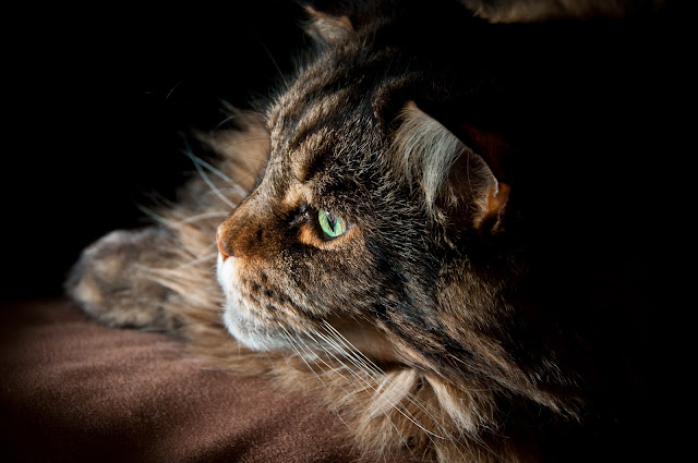 Maine Coon by George C Slade from flickr (CC-NC-ND)