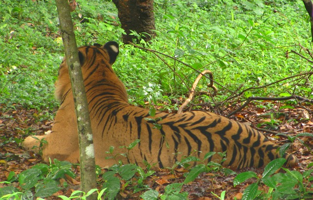 Bengal Tiger, Panthera tigris tigris, Tiger under captivity, NTCA, shooting tigers