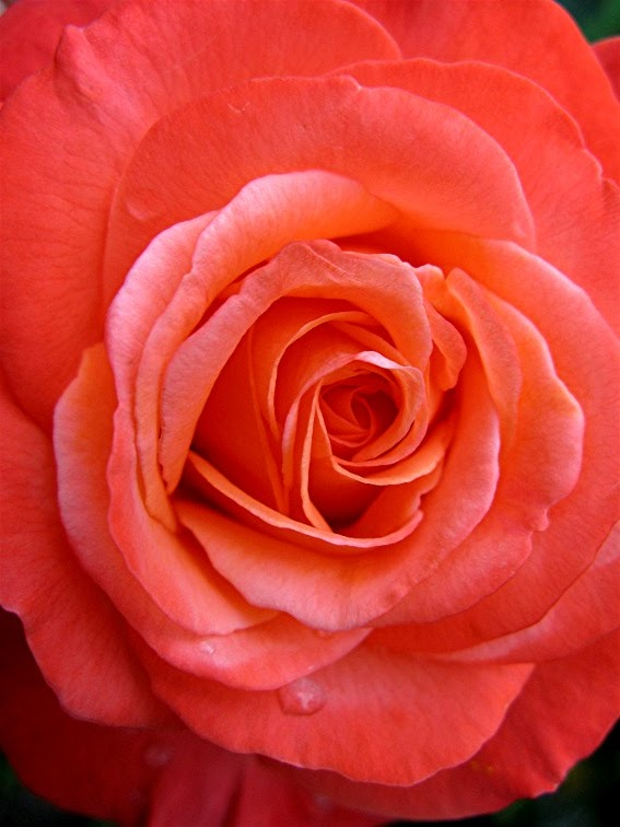 A country rose tallahassee florist rose color meanings by - Rosas color coral ...