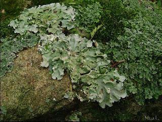 Simbiose entre um fungo e uma alga