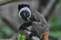 Emperor Tamarin Photos and Pictures 20