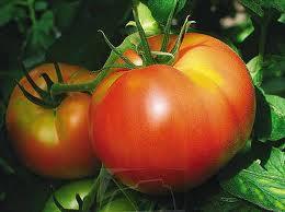 external image tomateak.jpeg