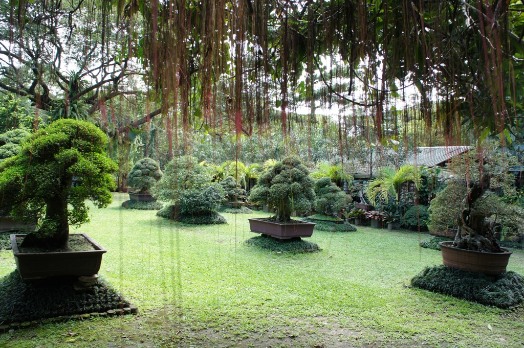 Backyard Bonsai Garden : The bonsai garden is Sir Mody Manglicmots legacy