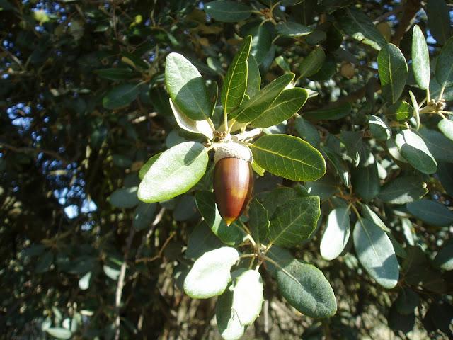 Bellota de ENCINA: Quercus ilex