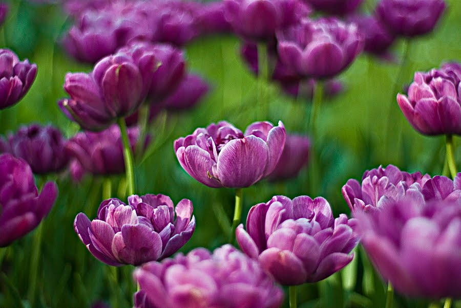Border bunga tulip joy studio design gallery best design - Pin Gambar Bunga Tulip Hitam Gratis Portal On Pinterest