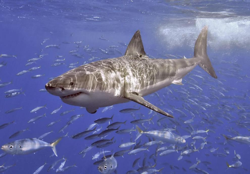 اسماك القرش تحت الماء Great-White-at-Guada