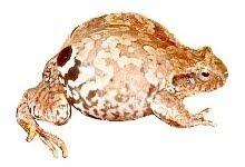 Rã-Quatro-Olhos (Physalaemus nattereri)